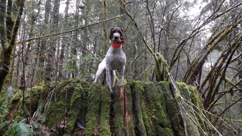 Ralphie--last day of Western Washington Grouse Hunting 12/31/2017