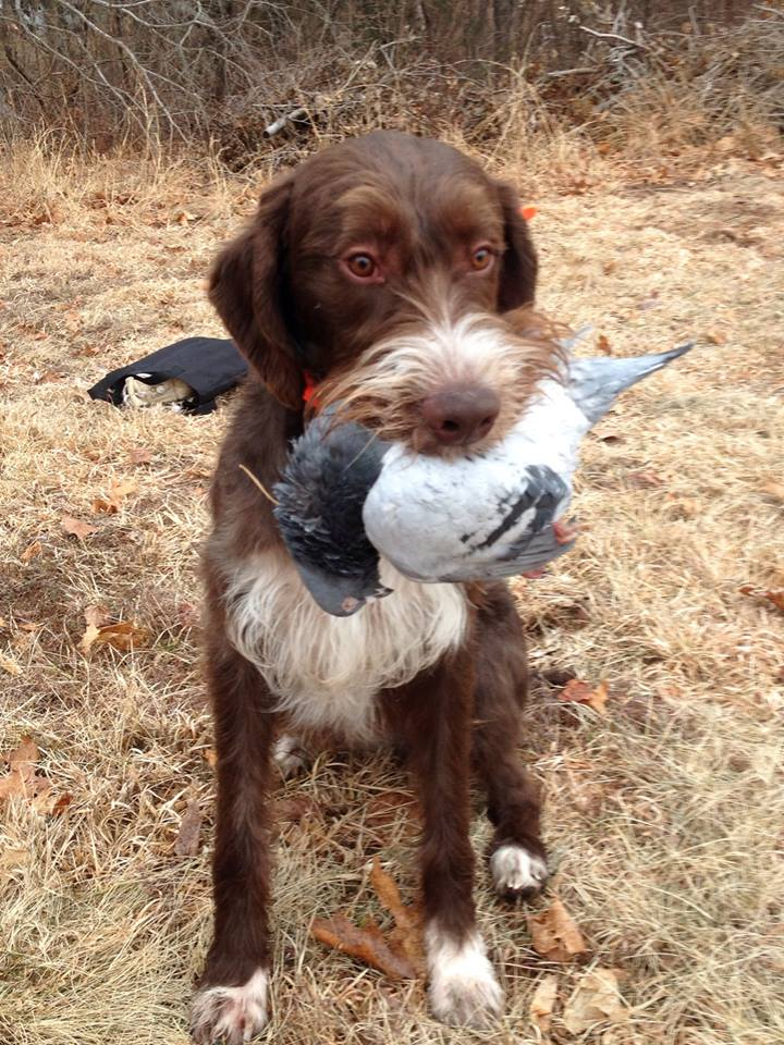 Boomer with a pigeon during a recent training session