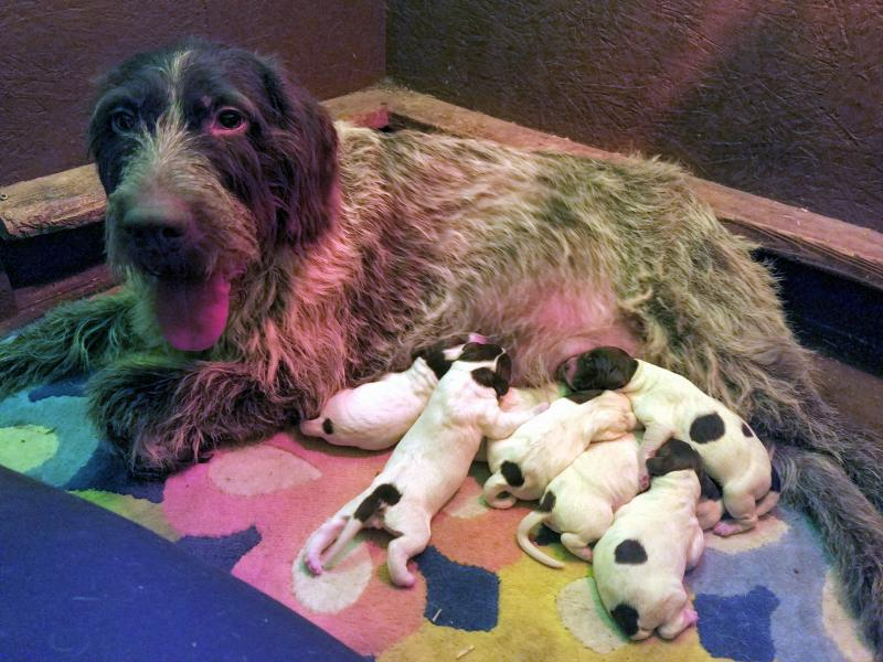 Desi with her newborn puppies--day of birth