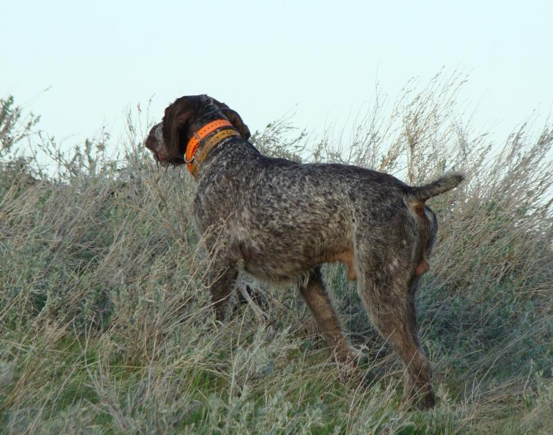 Hoover Pointing a pair of wild grouse