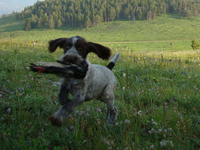 """Walter""   12-week old puppy retrieving a bird"